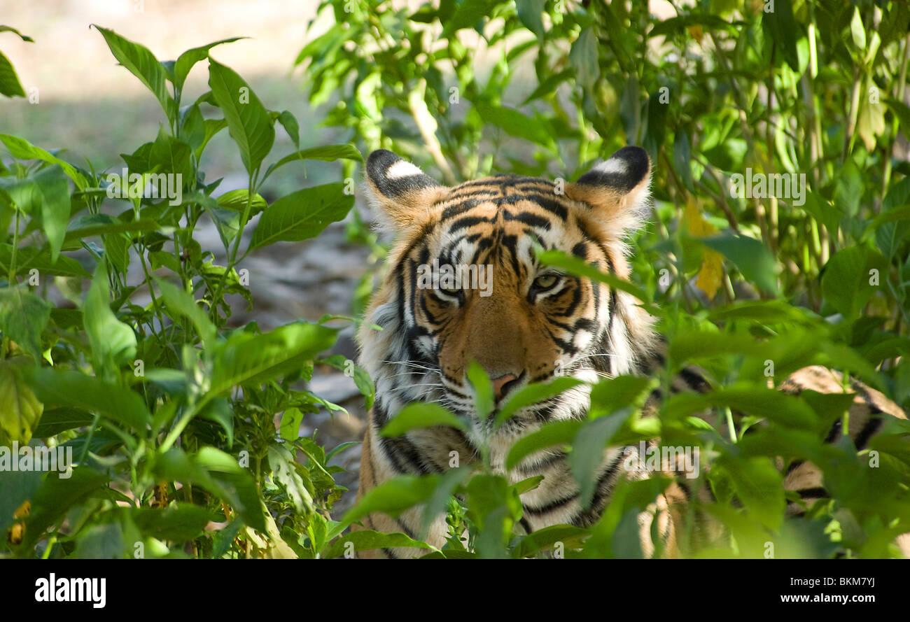 Bengal tiger, Panthera tigris, walking peering through vegetation Ranthambore NP, India - Stock Image