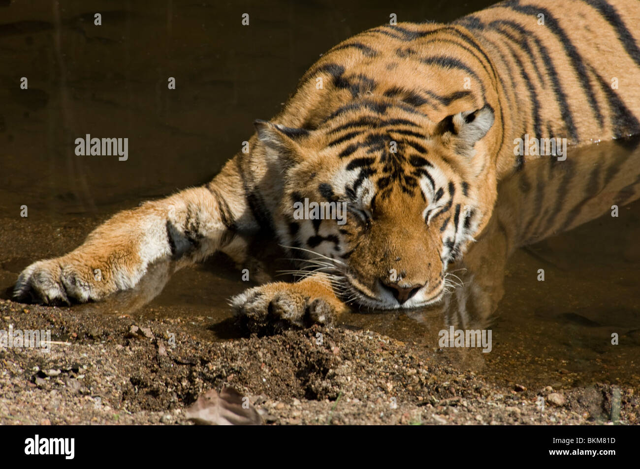Bengal tiger relaxing and snoozing by cooling off in water Kanha NP, India - Stock Image