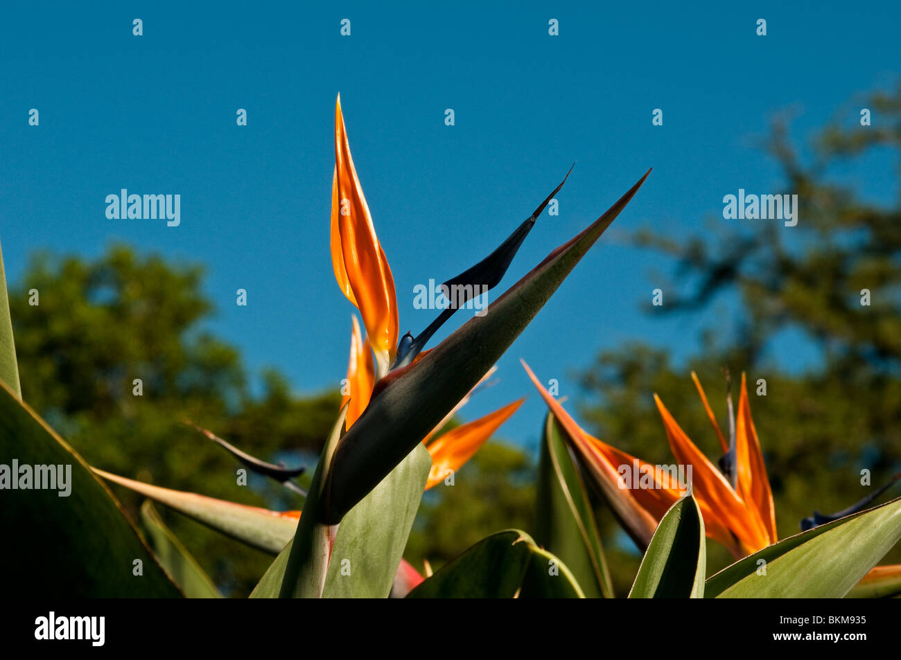 Bird of paradise flower, Botanic Gardens, Sydney, Australia - Stock Image