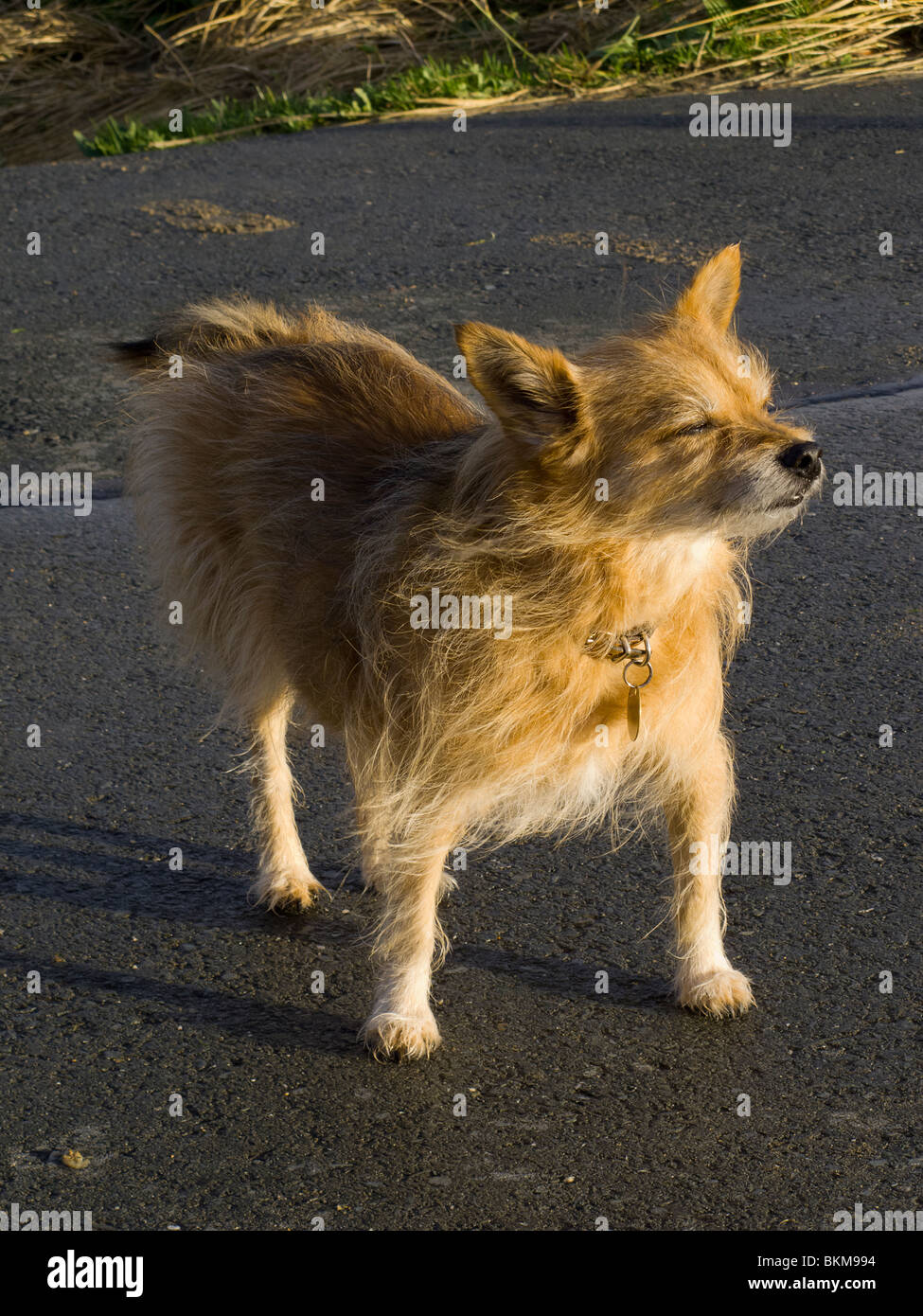 A small old ginger terrier dog in the evening sun - Stock Image