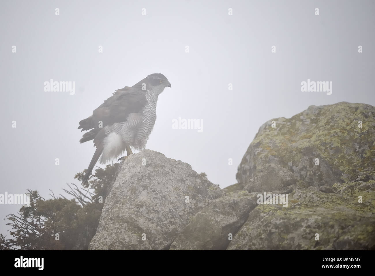 Northern Goshawk standing on a rock in the mist in winter - Stock Image
