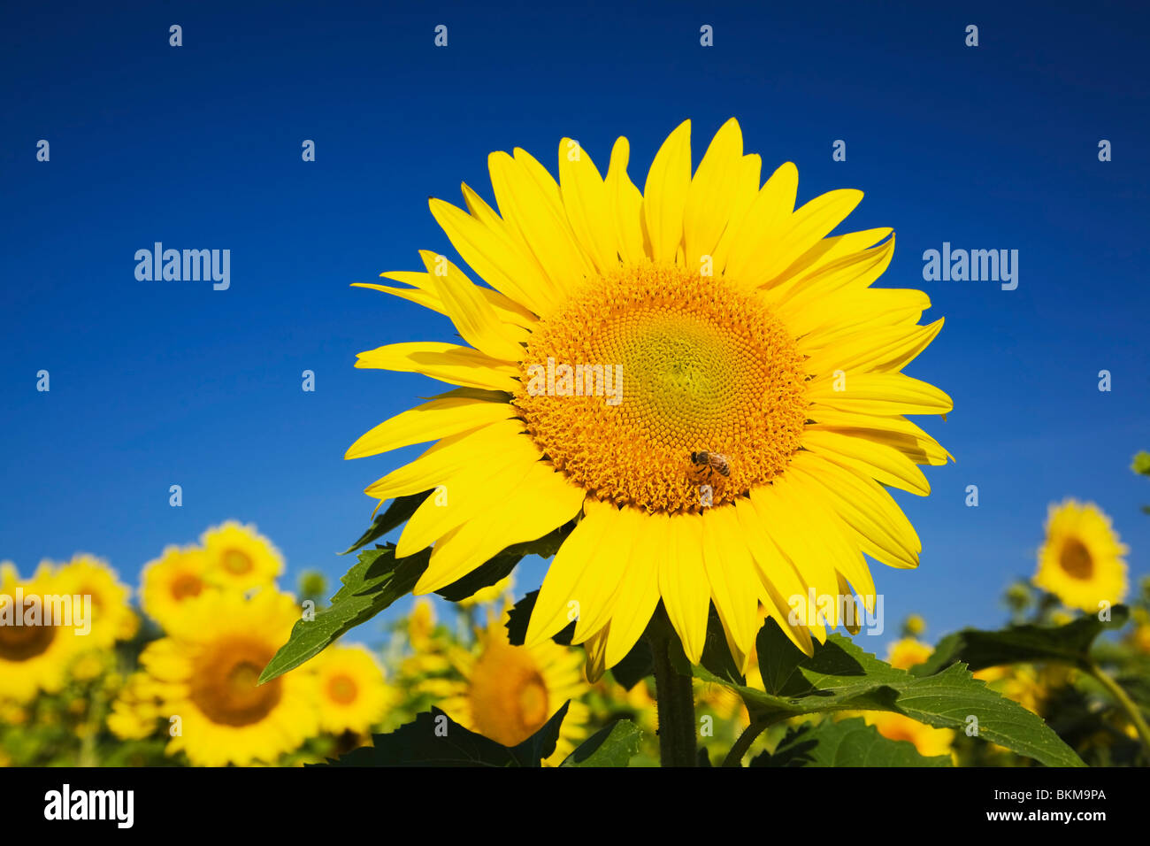 Laval, Quebec, Canada; A Sunflower With A Honeybee Foraging For Nectar - Stock Image