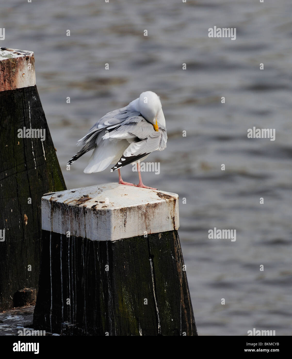 Adult herring gull resting on post along Amstel river, teasing feather Stock Photo