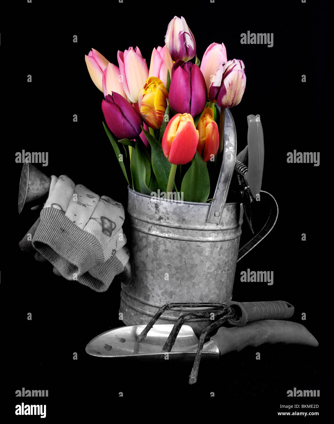 Still life of garden tools and tulips in two tones on a black back ground - Stock Image