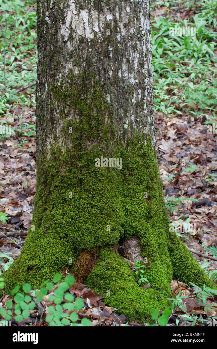 Carpet Moss growing on tree trunk Eastern Deciduous Forest Eastern United States - Stock Image