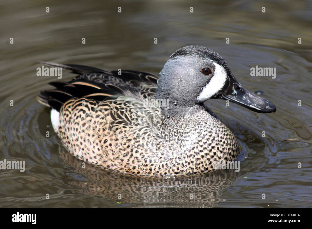 Male Blue-winged Teal Spatula discors (formerly Anas discors) Taken at Martin Mere WWT, Lancashire UK - Stock Image