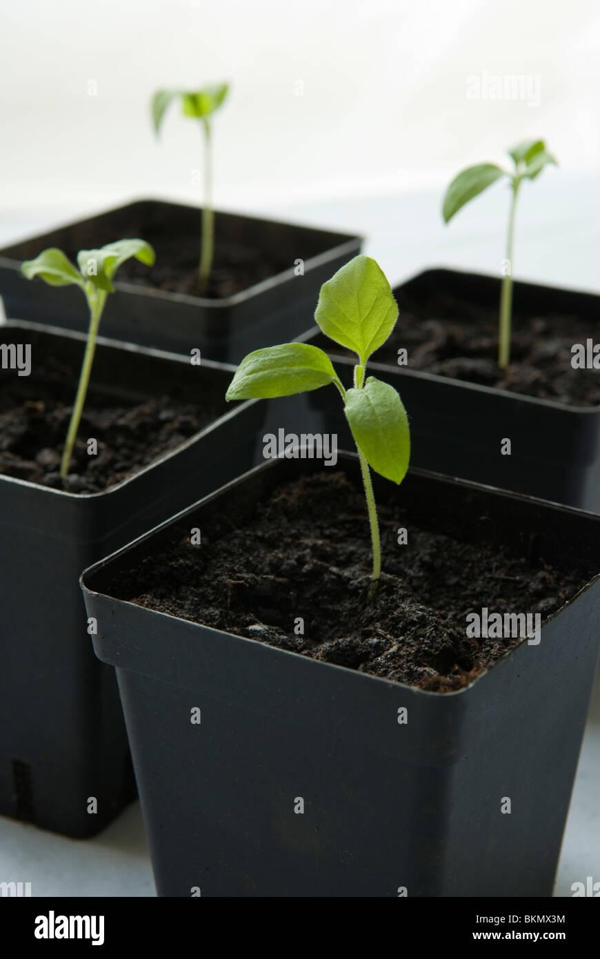 Seedlings of Aubergine / Eggplant 'Diamond'. - Stock Image