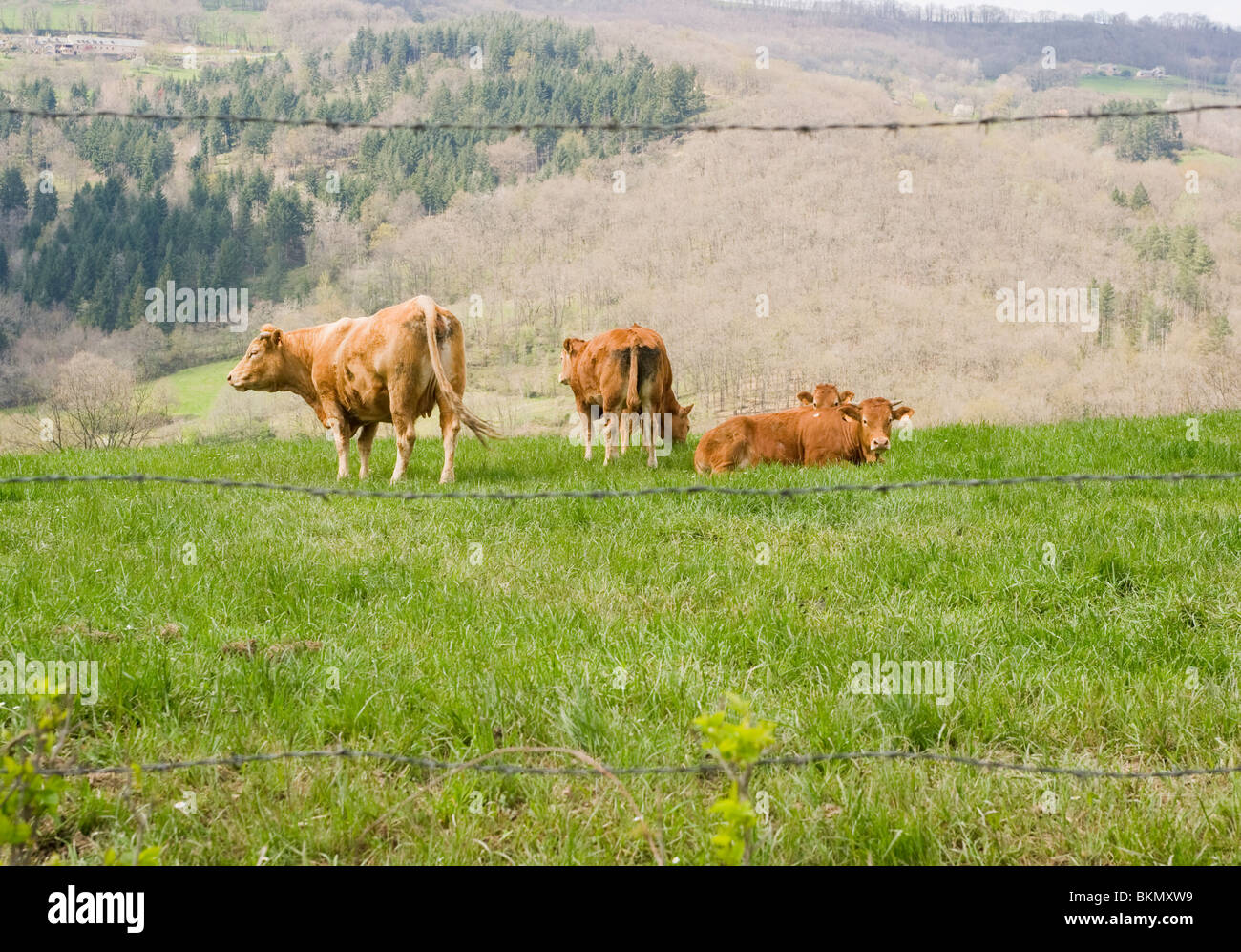Dairy Cows Grazing and Sitting in a Field In Najac Aveyron Midi-Pyrenees France - Stock Photo