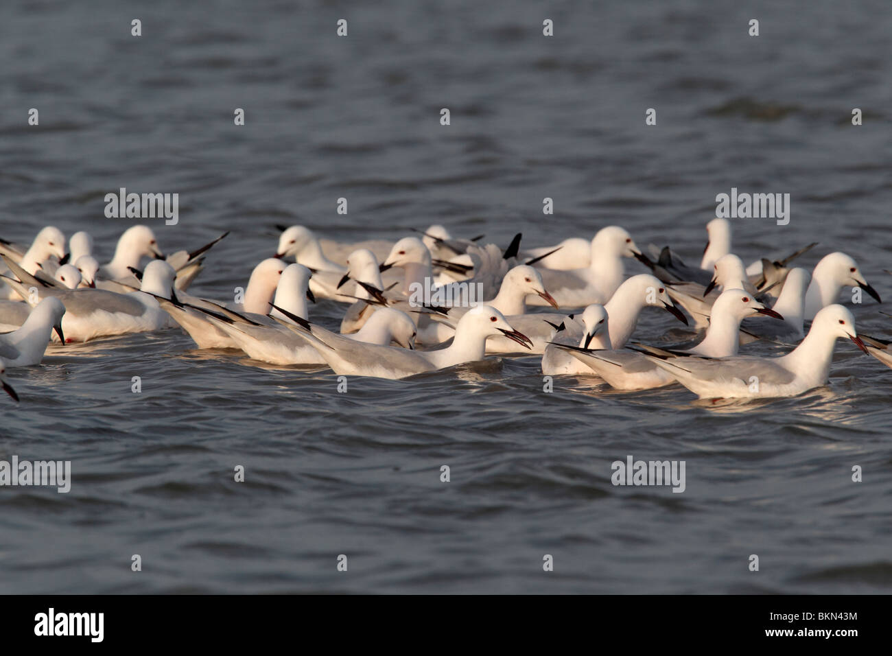 Slender-billed gull, Larus genei, flock of birds feeding on water, Southern Spain, April 2010 Stock Photo