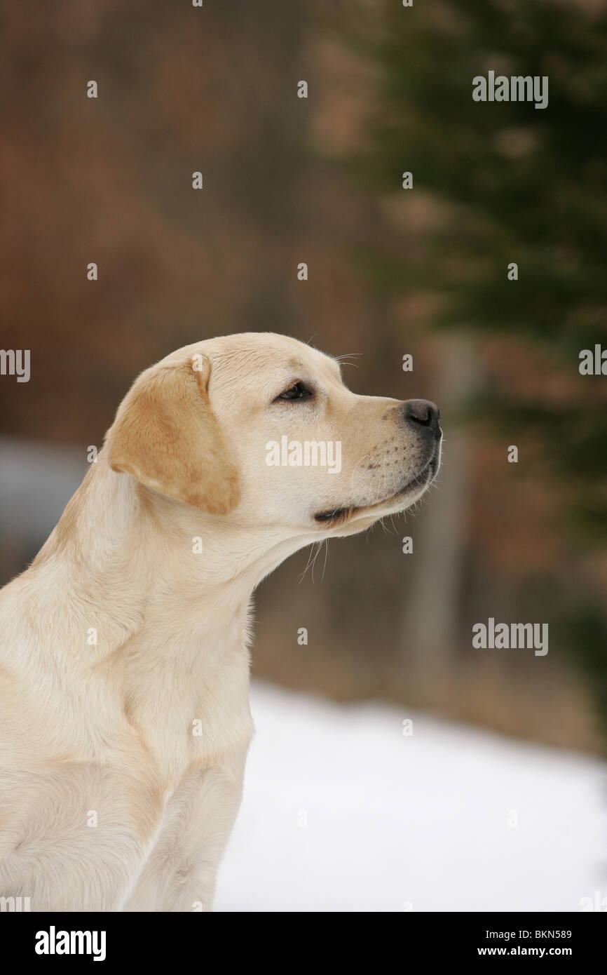 Labrador Retriever Portrait - Stock Image