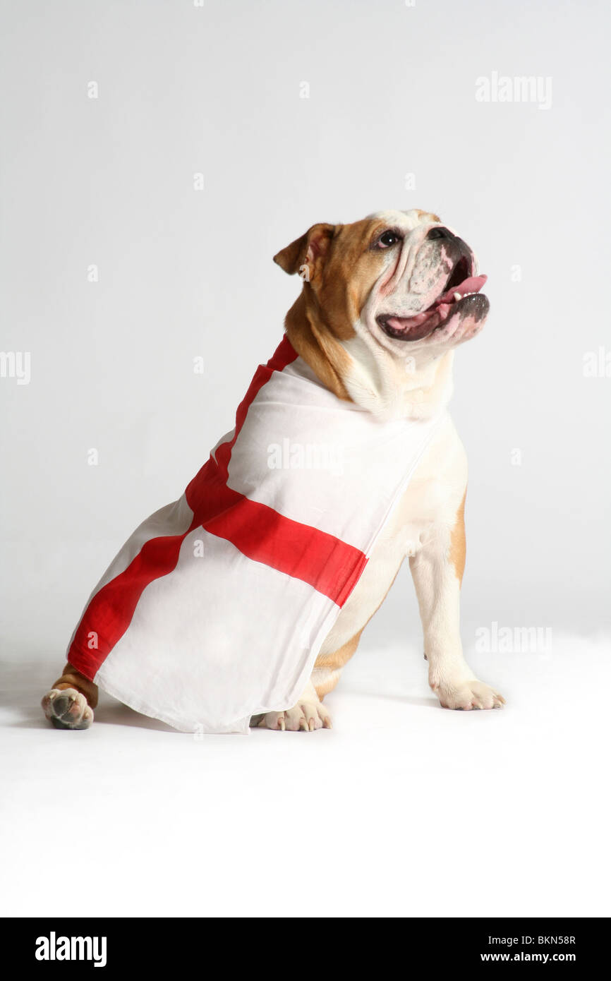 A British Bulldog sat looking proud and noble draped in the flag of Saint George / England flag. Word Cup Hope. - Stock Image