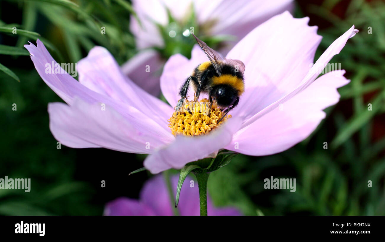Close up macro shot of a bumble bee feeding on nectar on a violet coloured flower. - Stock Image