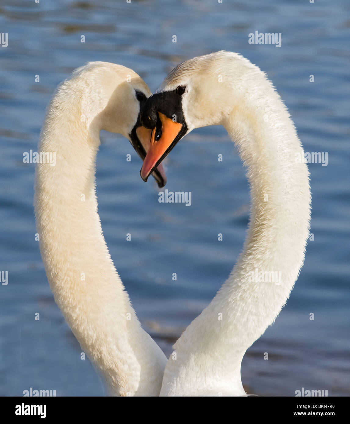 Swans Courting 4 Stock Photo