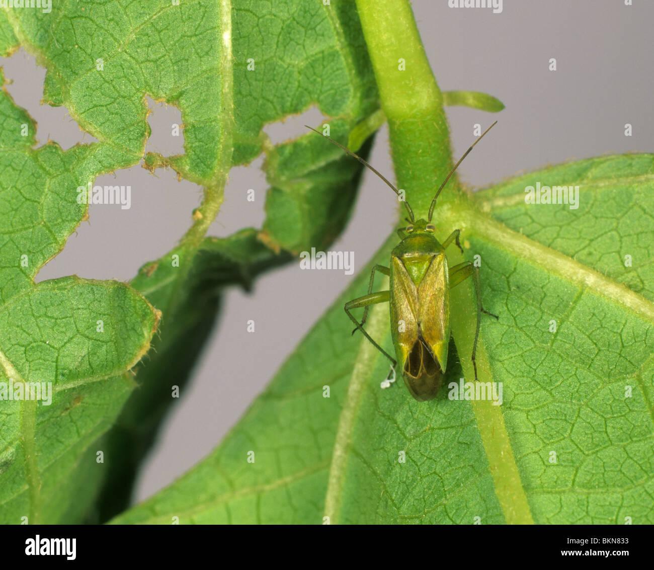 Potato capsid (Calocoris norvegicus) and damage to runner bean leaf - Stock Image