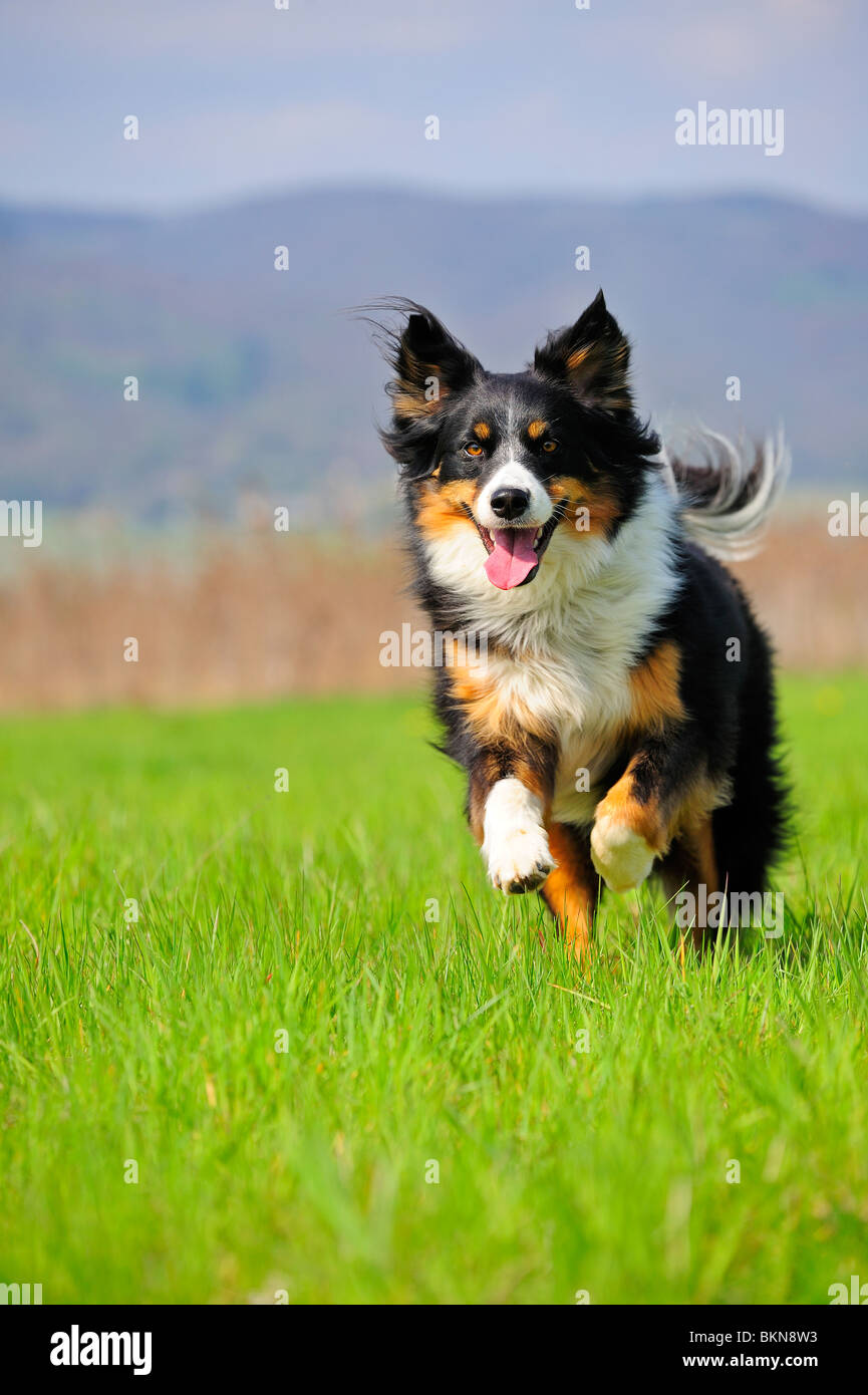 Young Dog Cross Between A Border Collie And An Appenzeller
