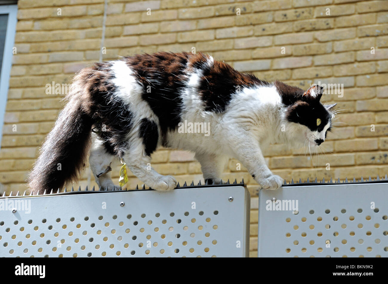Black and White long haired domestic cat walking acroos the top of a spiked gate London England UK - Stock Image