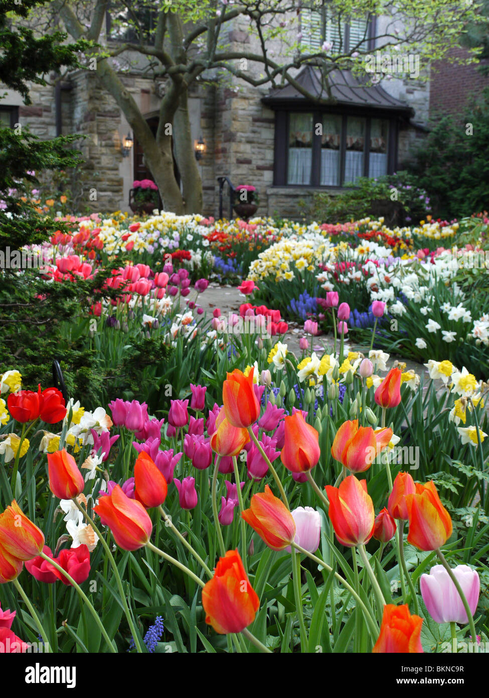 Spring garden in front yard of house, with colorful tulips - Stock Image