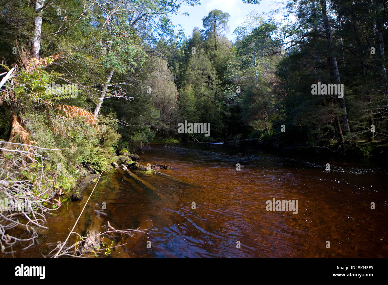 The tannin-stained Styx River near Maydena Stock Photo