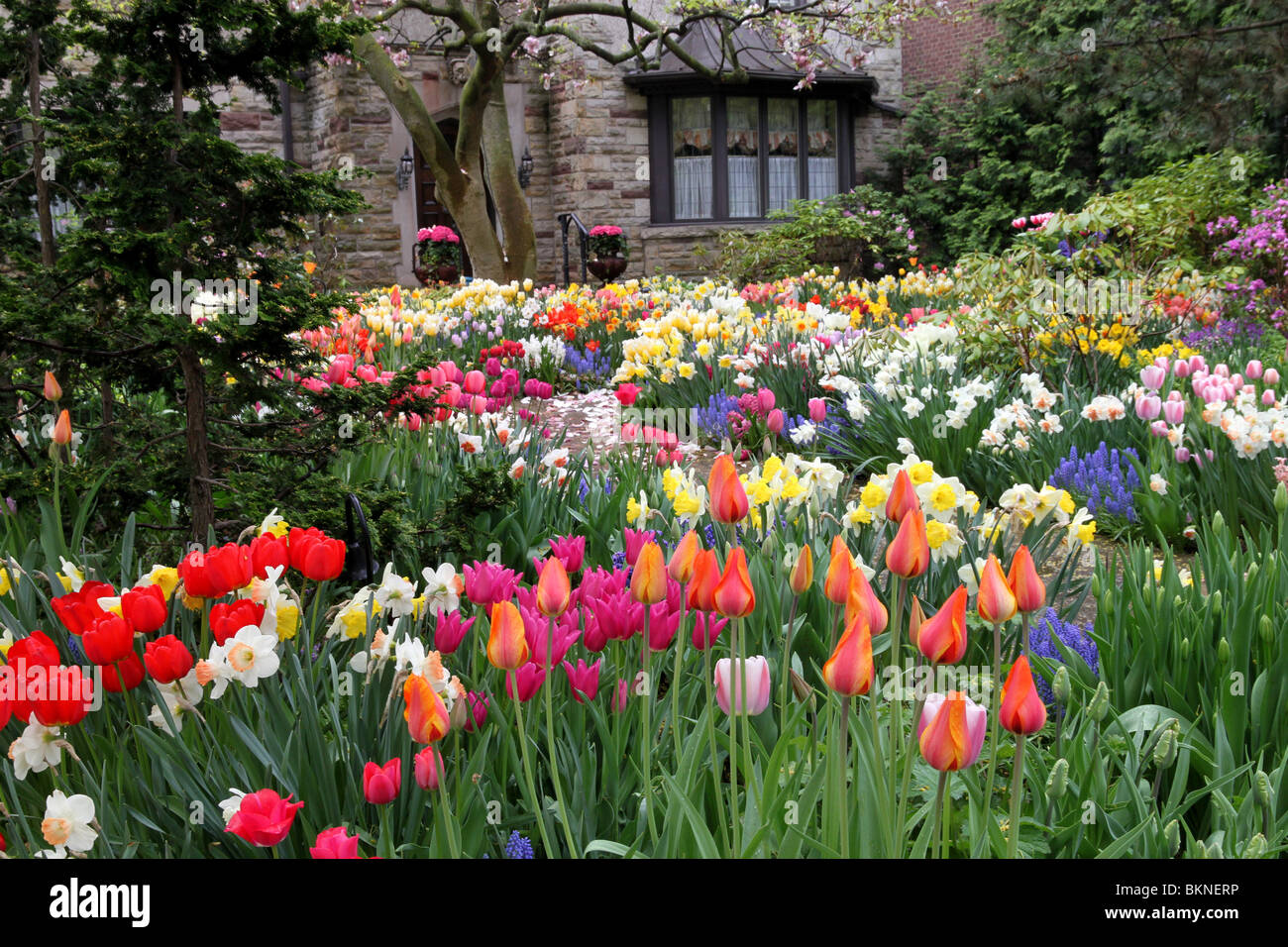 Spring garden in front yard, with colorful tulips - Stock Image