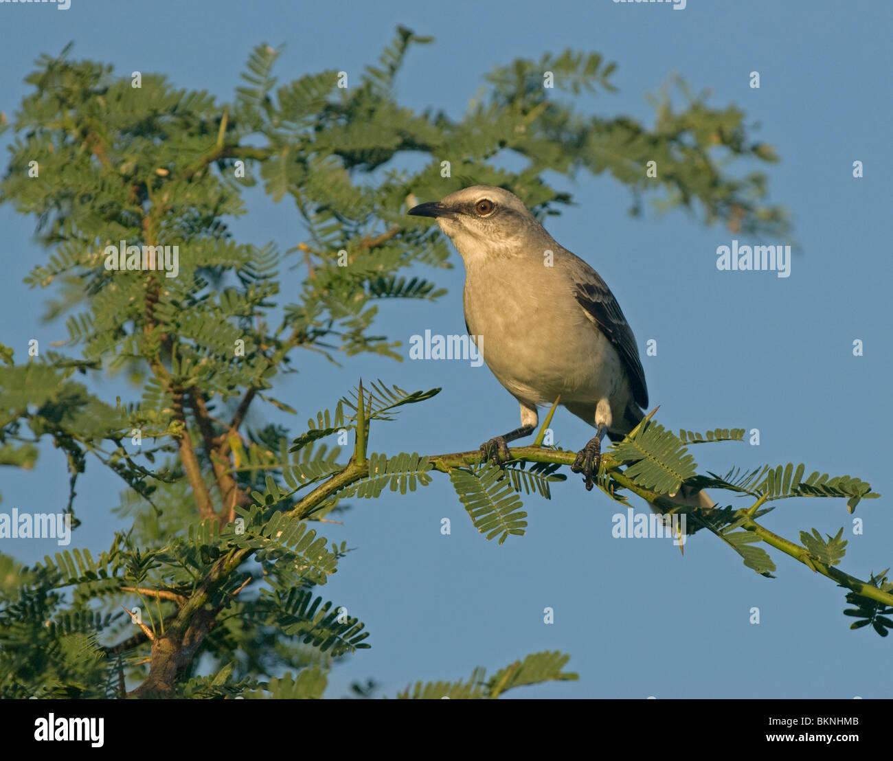 Tropische Spotlijster;Tropical Mockingbird - Stock Image