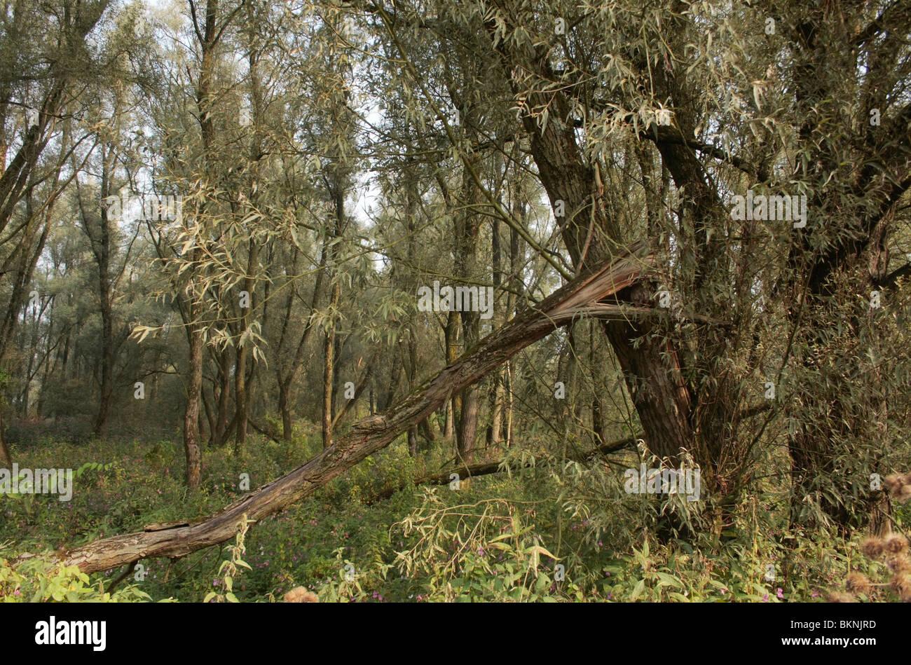 Een ooibos bestaand uit Wilgen met Reuzenbalsemien als bodemvegetatie Stock Photo