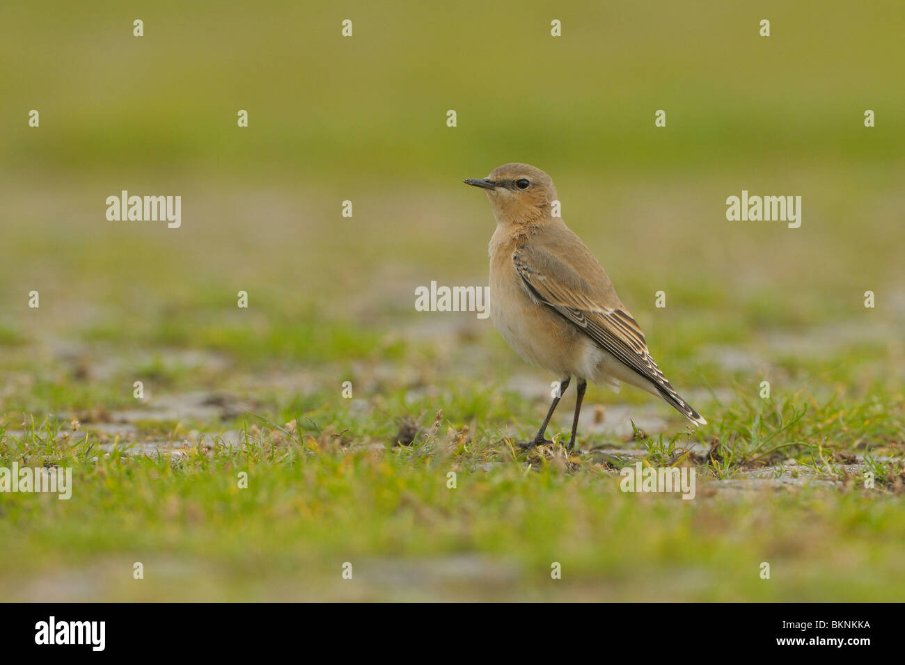 Tapuit foeragerend op de grond; Wheatear foraging on the ground with a low point of view Stock Photo