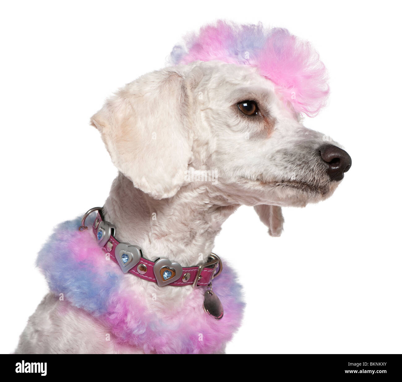 Groomed poodle with pink and purple fur and mohawk, 1 year old, in front of white background - Stock Image