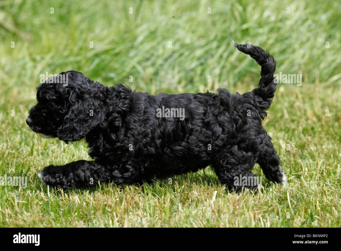 Cockapoo Welpe / Cockapoo puppy - Stock Image