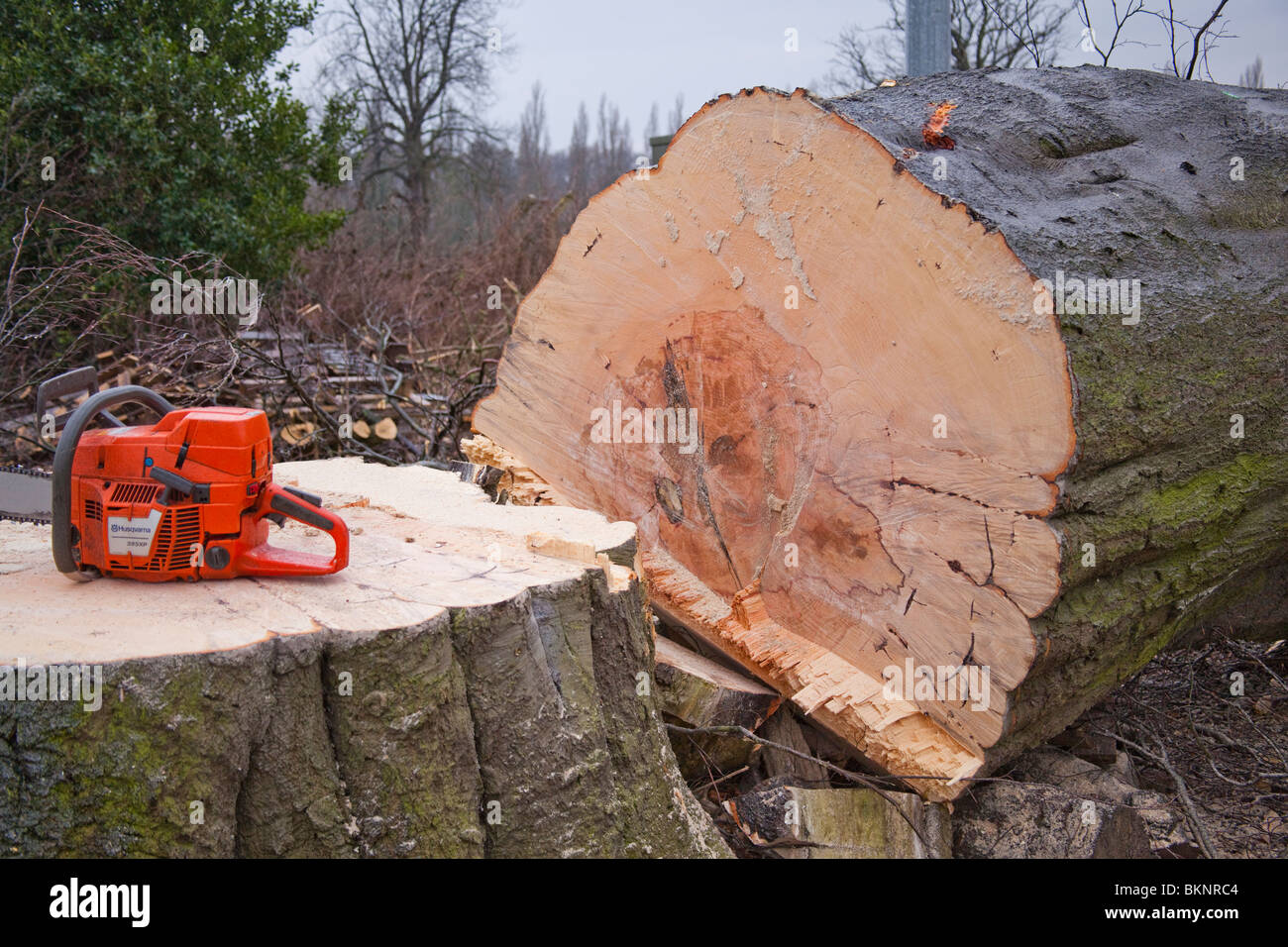 Felled tree and chainsaw. - Stock Image