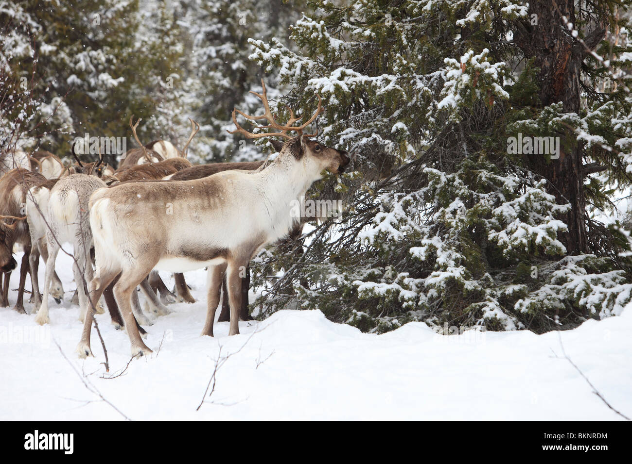 The annual Sami springtime reindeer migration from Stubba nr Gällivare in Sweden through their ancestral lands - Stock Image