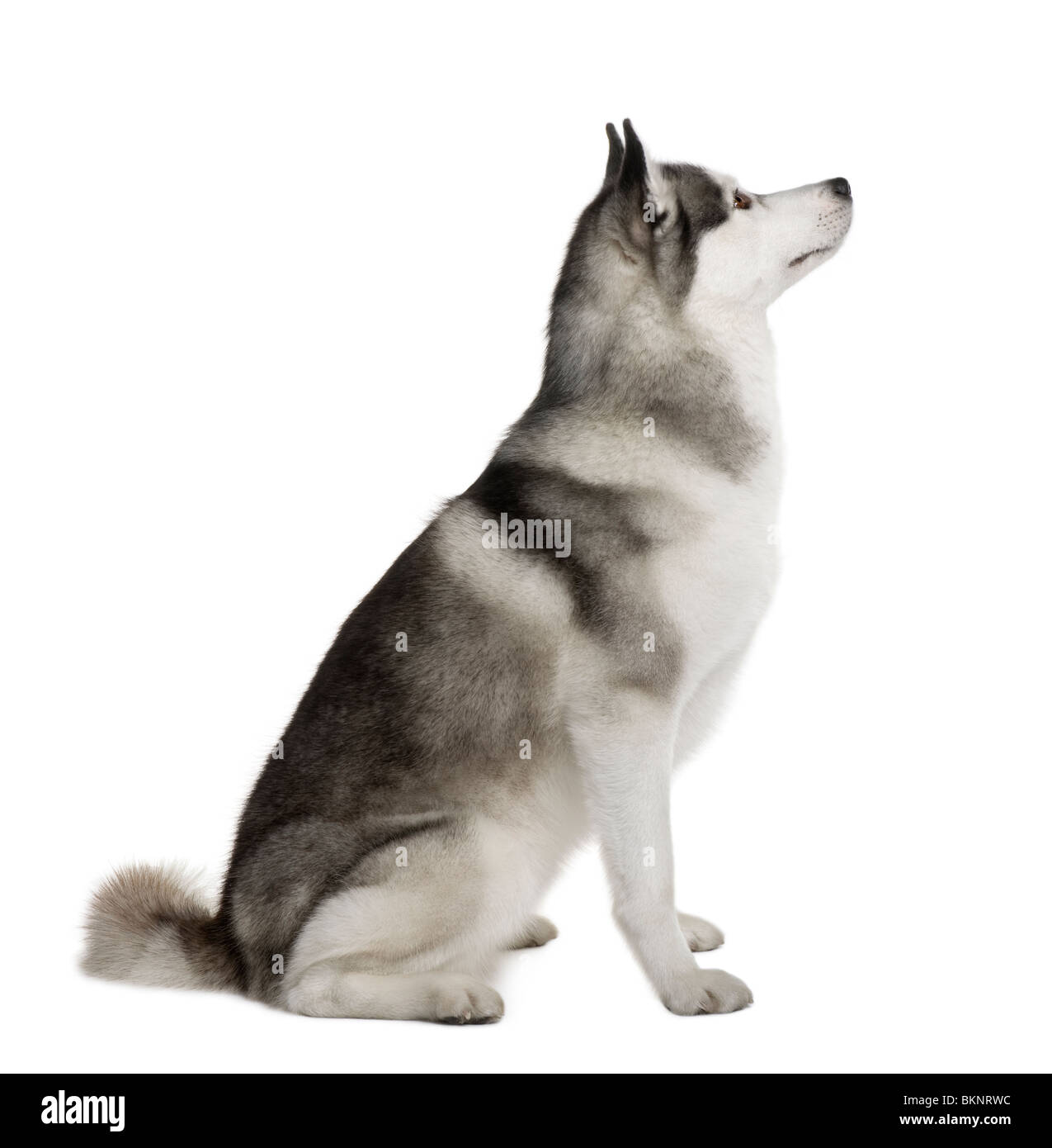 Akita Inu, 3 years old, sitting in front of white background - Stock Image