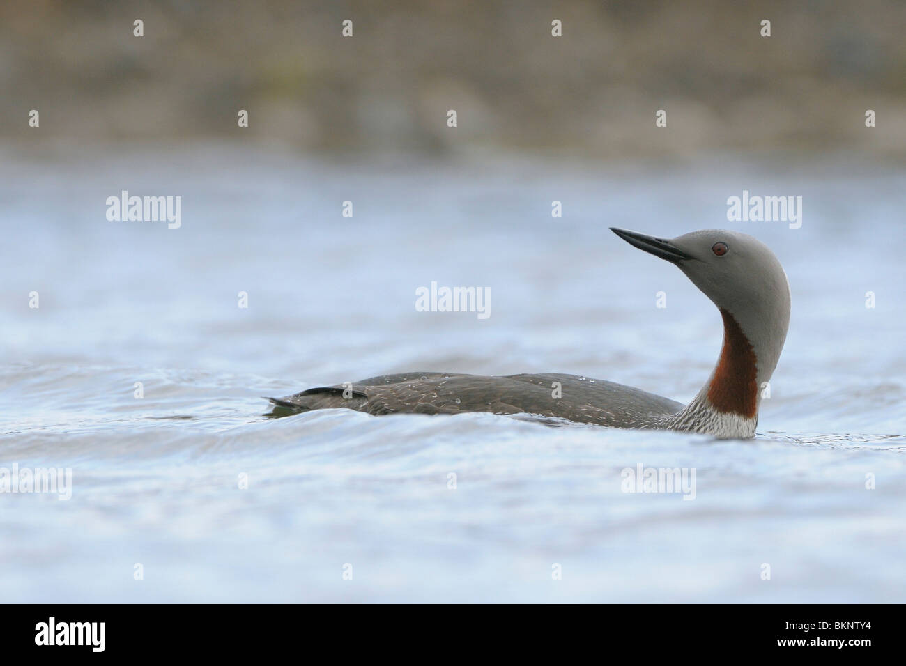 Zwemmende adulte Roodkeelduiker; Swimming adult Red-throated Diver Stock Photo
