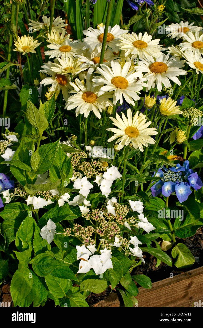 Hydrangeas and Leucanthemum close up in a flower border - Stock Image