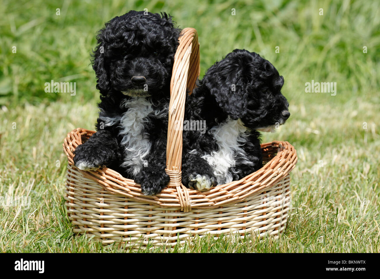 Cockapoo Welpen / Cockapoo Puppies - Stock Image