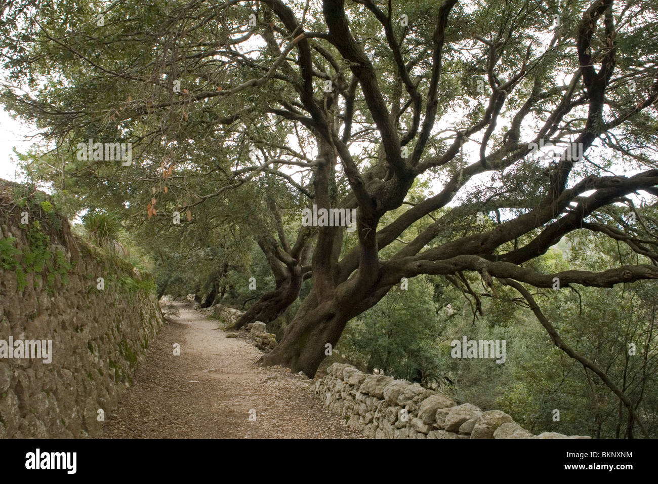 Gorgeous hundred-year-old holm oaks at the Sa Bataia Pass (Majorca-Spain). Superbes chênes-verts au col de - Stock Image