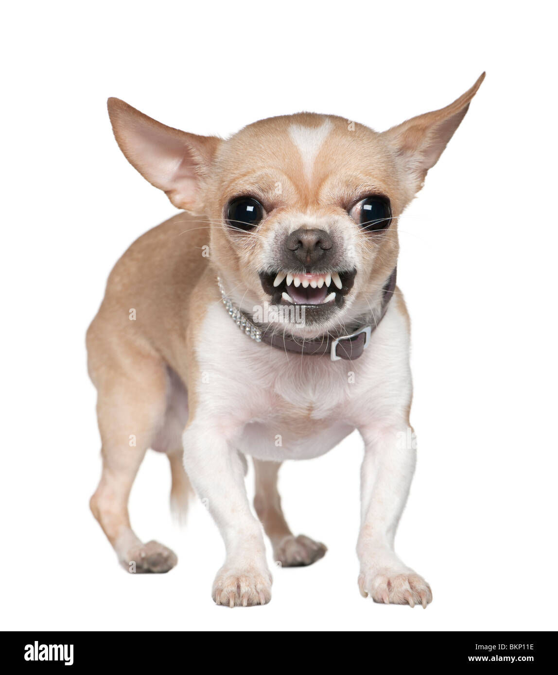 Angry Chihuahua growling, 2 years old, in front of white background - Stock Image