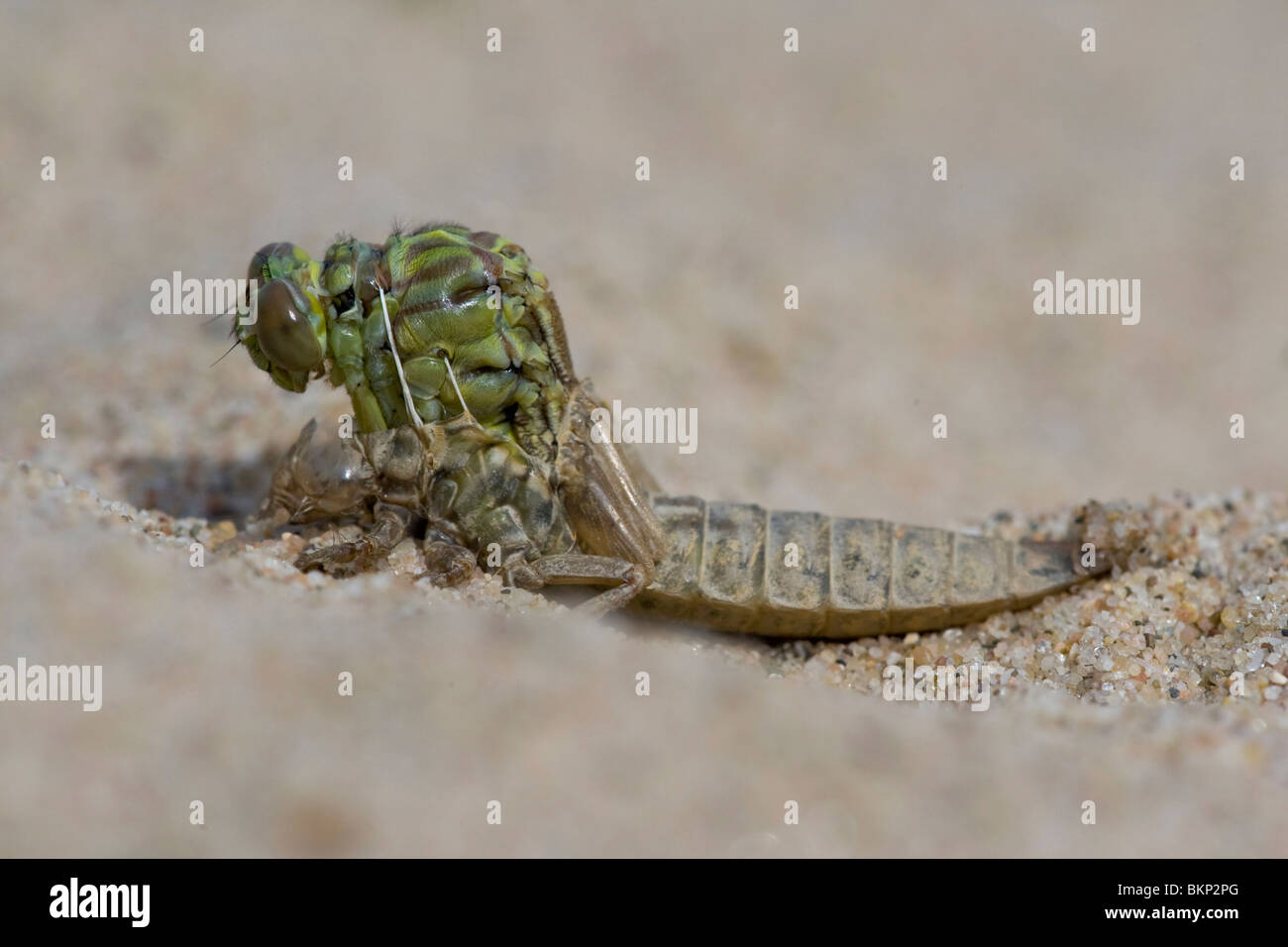 Emerging River Clubtail (5/12); emerging, after 3 minutes; UItsluipende Rivierrombout (5/12); uitsluipend; na 3 - Stock Image