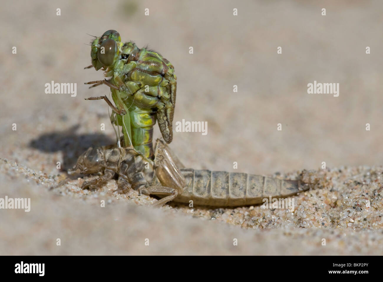 Emerging River Clubtail (6/12); emerging, after 5 minutes - Stock Image