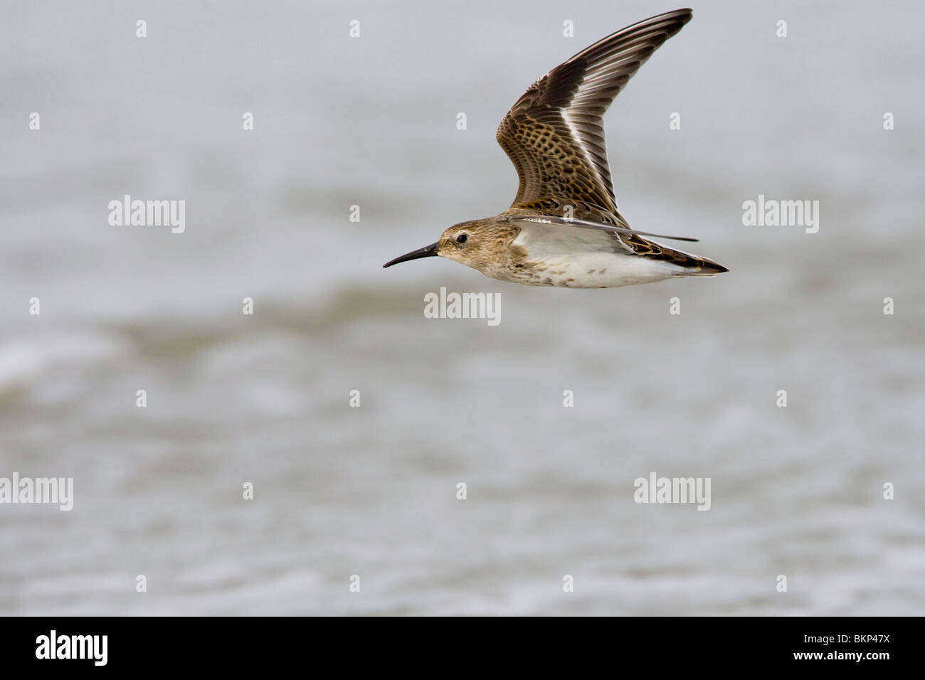 Flying first-winter Dunlin Stock Photo