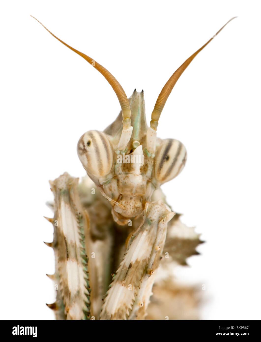 Female Blepharopsis mendica, Devil's Flower Mantis, in front of white background - Stock Image