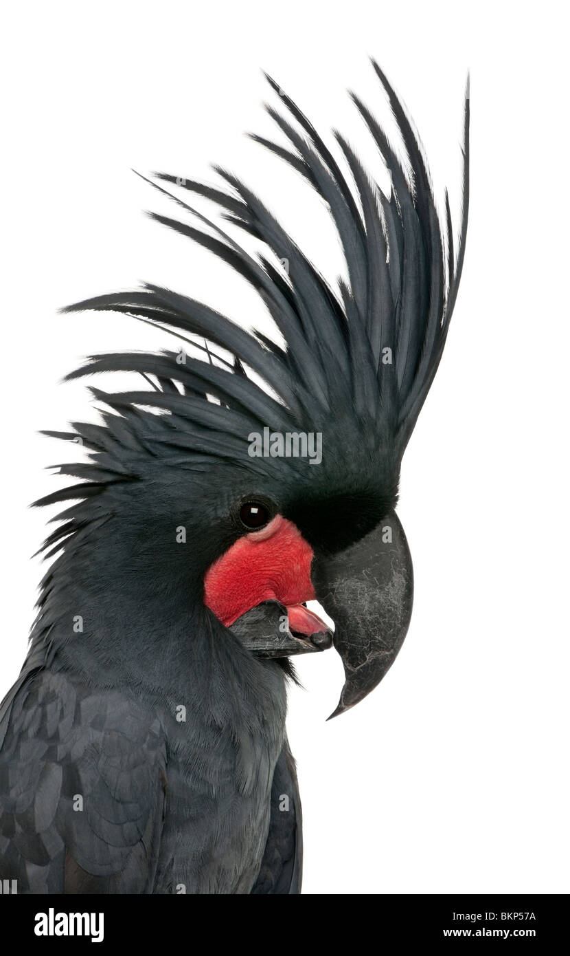 Palm Cockatoo, Probosciger aterrimus, also known as the Goliath Cockatoo, in front of white background - Stock Image