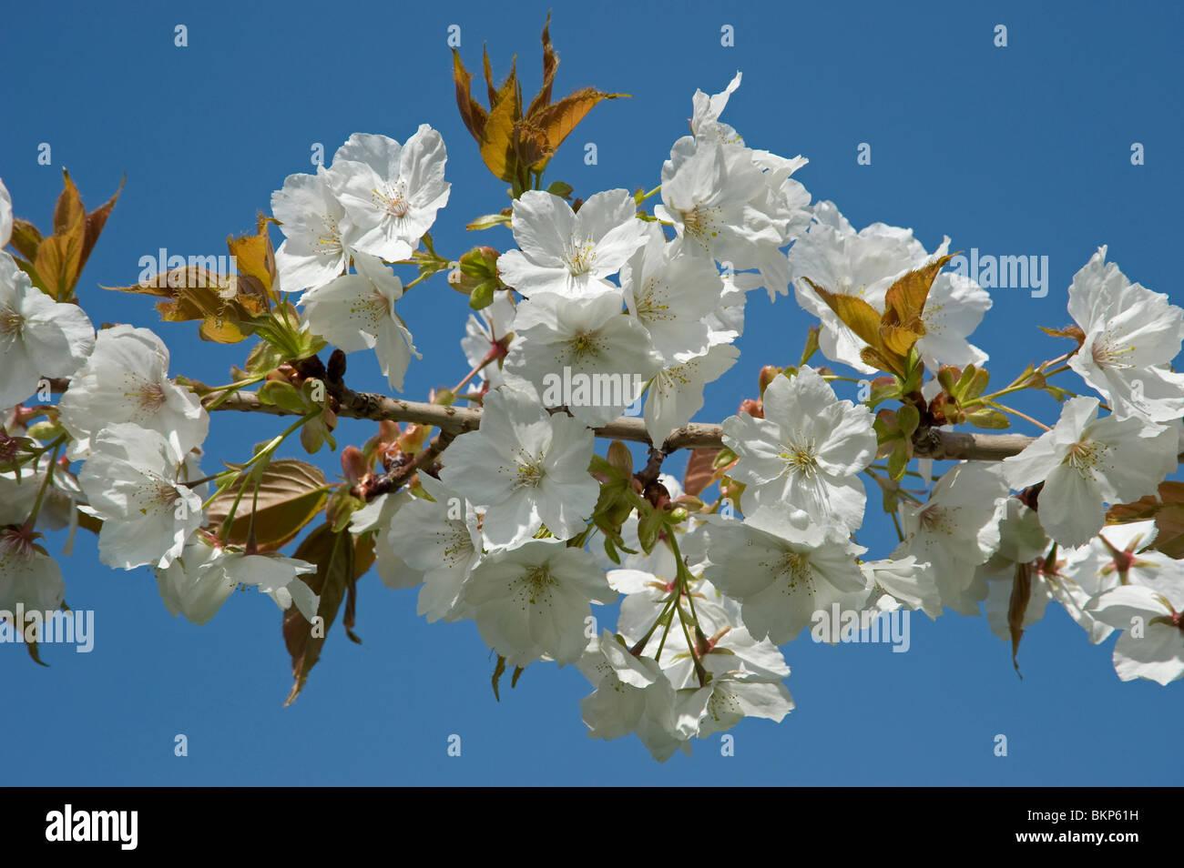 Great white cherry blossom Prunus Tai Haku - Stock Image