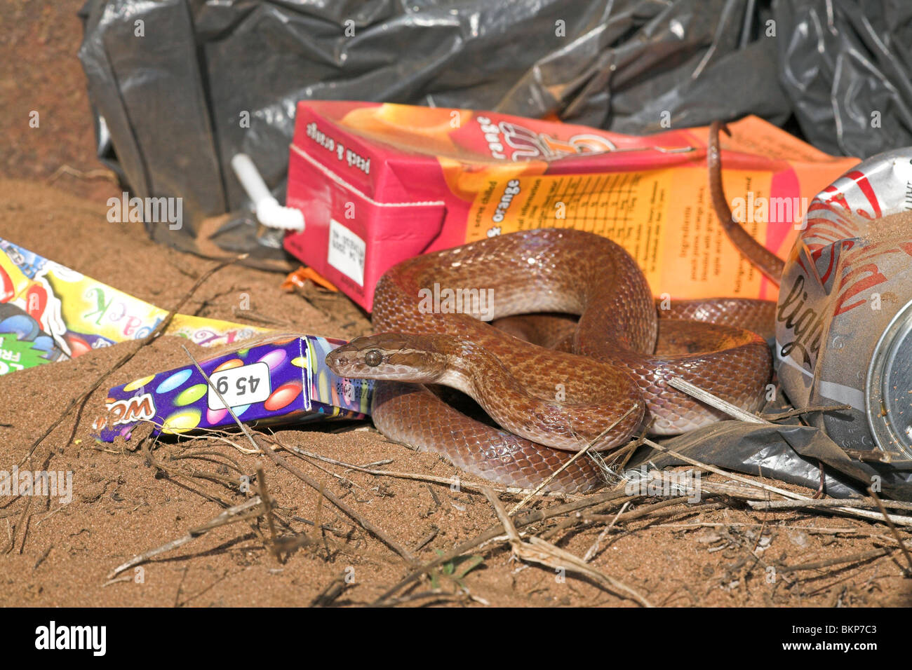 Photo of a brown house snake between colourful garbage, brown house snakes often live around humans as they hunt - Stock Image
