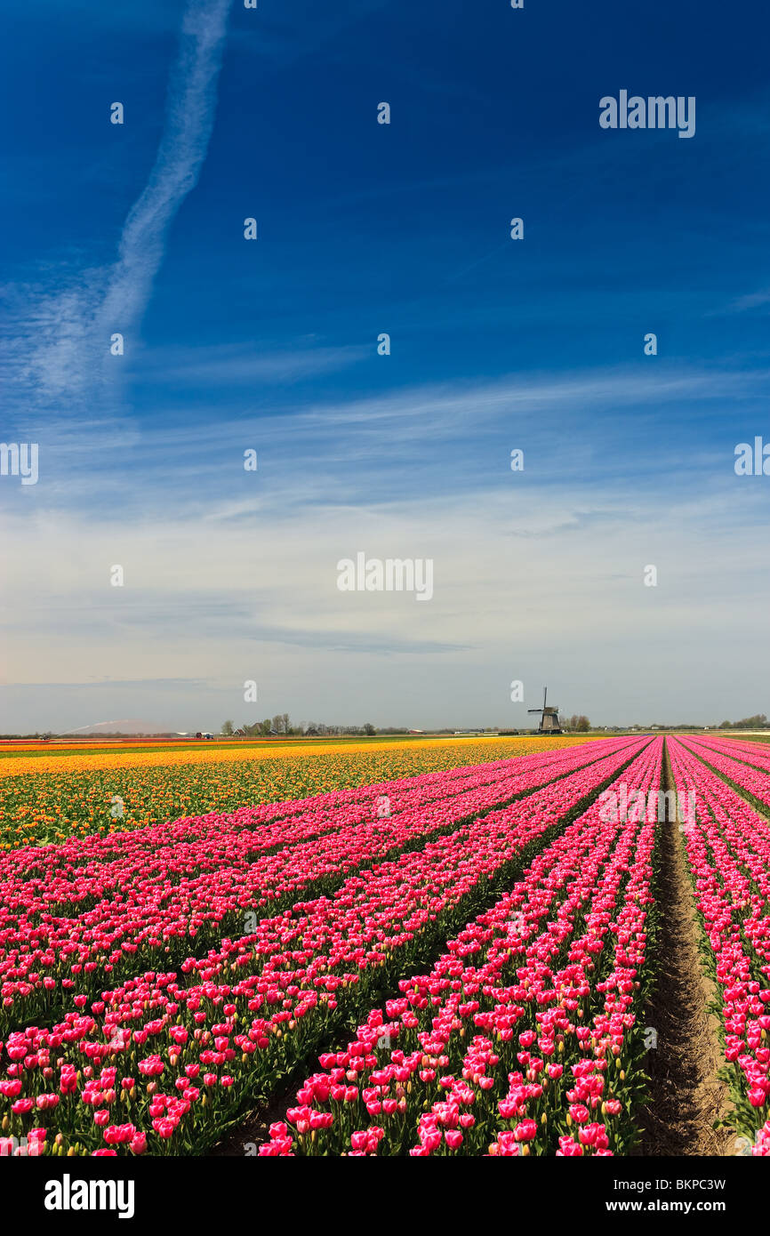 Flowers and windmills from Holland - Stock Image