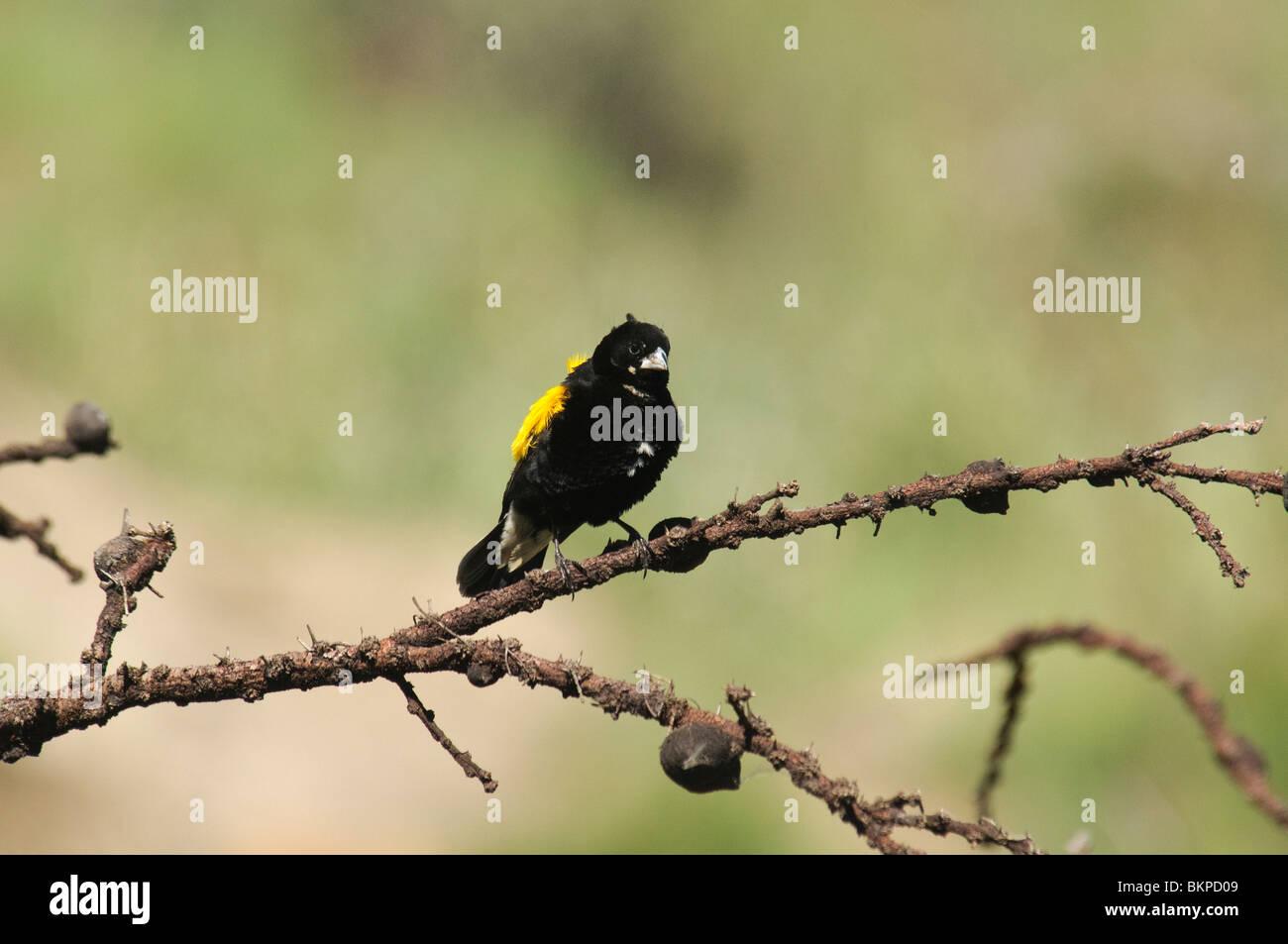 Yellow Bishop Euplectes capensis - Stock Image