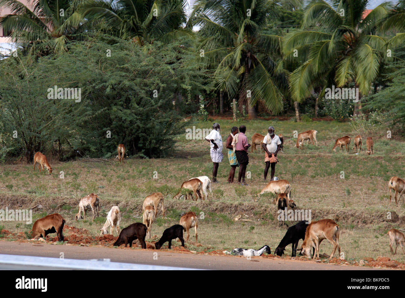 A goat farm in a rural south indian villag of thirunelveli in tamilnadu indiaasia