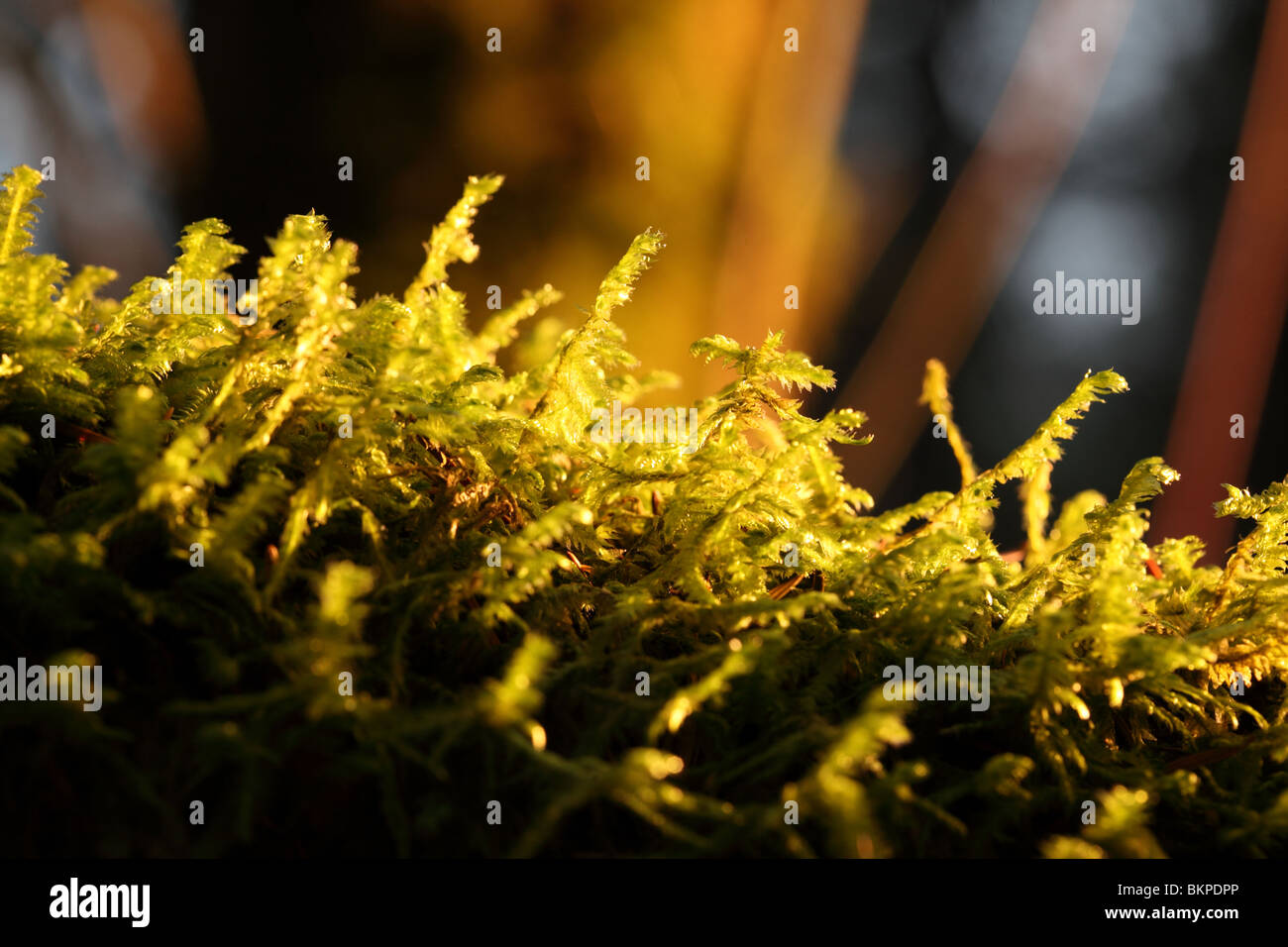Moss growing in woods - Stock Image