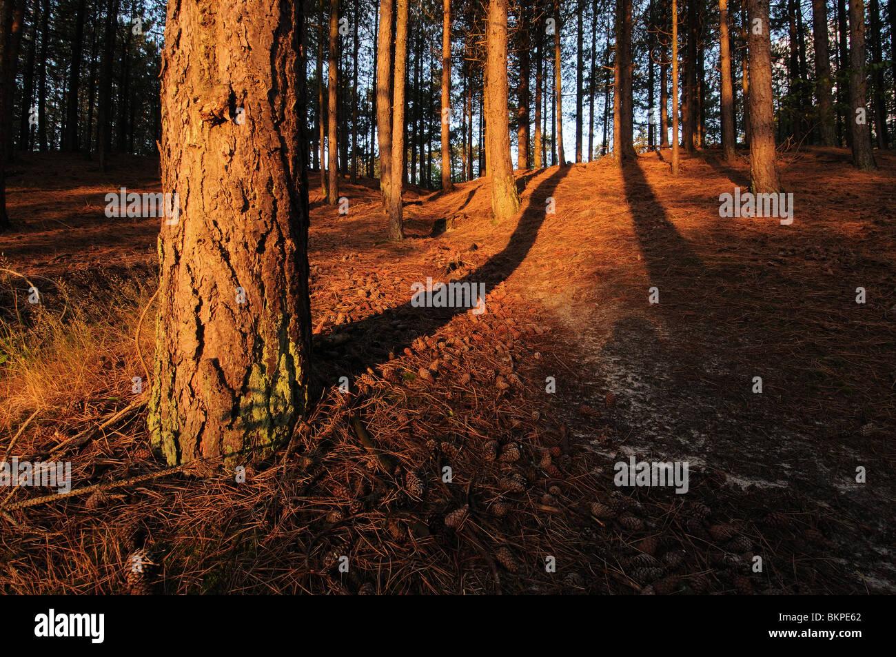 Zacht en warm ochtendlicht op boomstammen in naaldbos met lange schaduwen tijdens zonsopkomst; Soft and warm morninglight - Stock Image