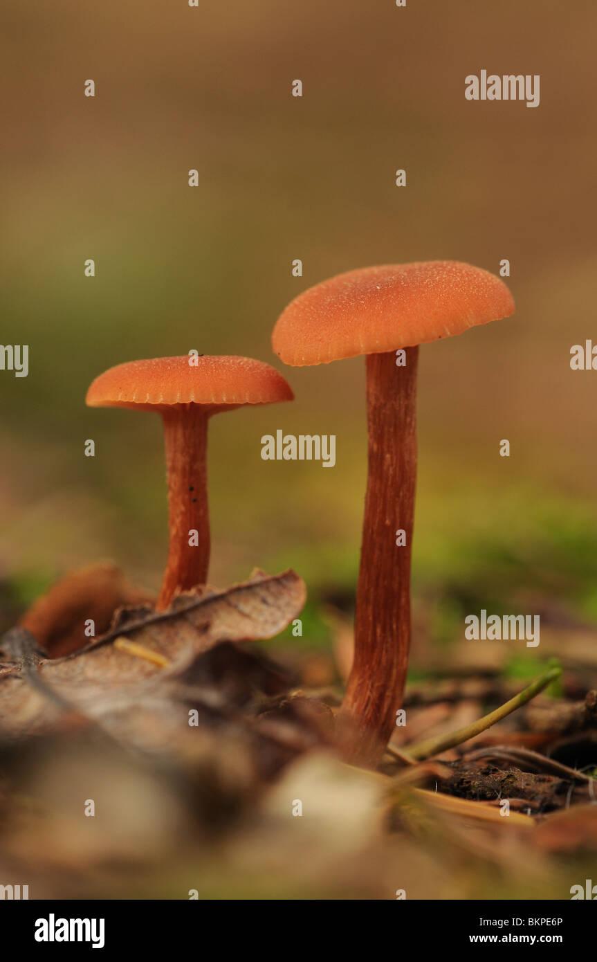 Twee oranje schubbige fopzwammen naast elkaar op de grond in naaldbos; Two orange mushroom next to each other on - Stock Image