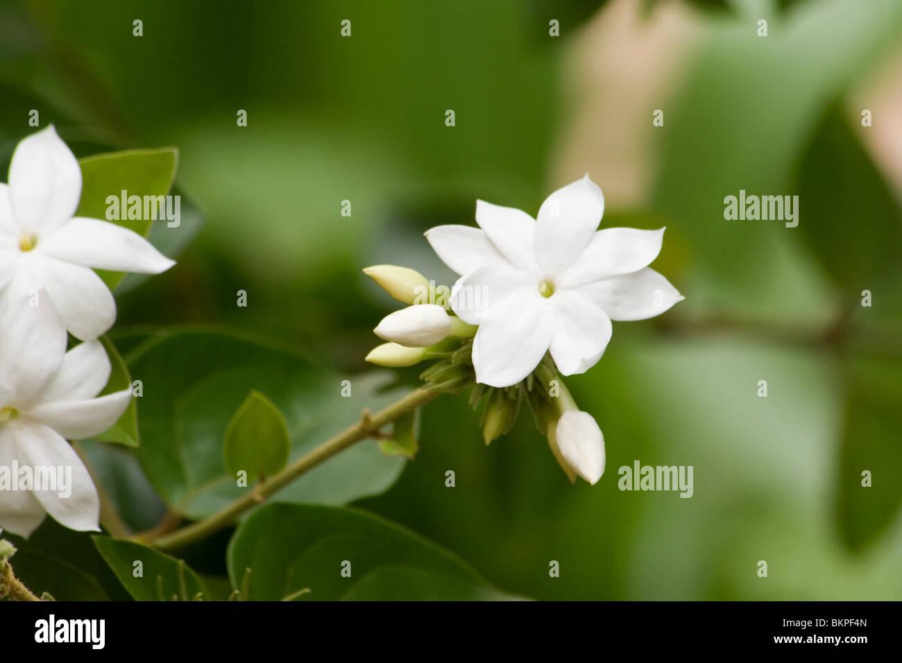 Jasmine flowers on the plant - Stock Image